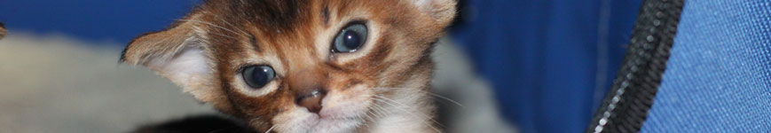 Caracats | Abyssinian Cat News and other cat related stuff
