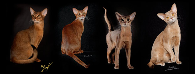 Fawn Colored Cat Colors of abyssinian cats